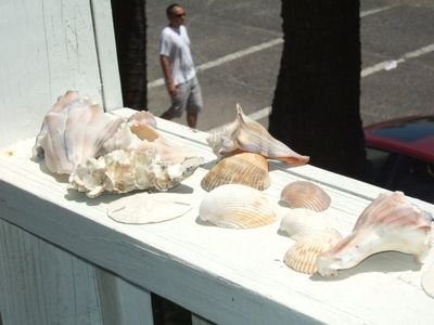 Seashells found right out on Folly Beach!