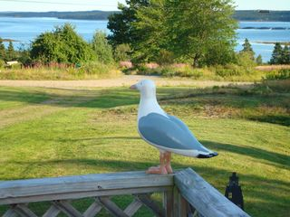 Perry cottage photo - The resident sea gull!