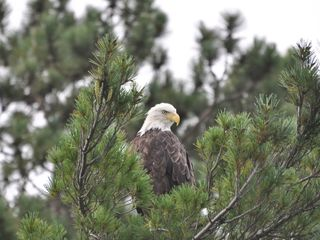 Fifty Lakes cabin photo - Bald Eagle