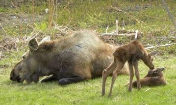 Mother and two calves in Moose Meadow