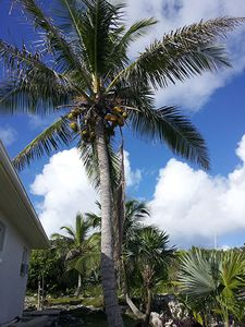 One of the many coconut trees on the property.