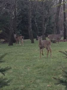 Deer family live on properties 221844 & 176939 Grounds. Peaceful Nature