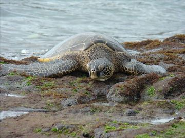 Local wildlife: turtles, manta rays