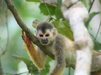 Titi Monkey - an endangered species we see with some frequency at the Casa!