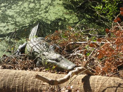Local Alligator habitat-in the lagoon near our house, behind a walled barrier,