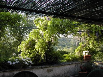 Terrace with Wisteria and white Geraniums