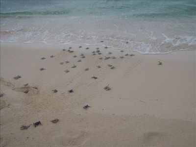 The baby turtles swimming for it at Playa del Secreto
