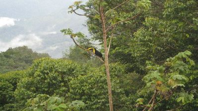 Resident Toucan in the Backyard; the pair can be seen mornings and evenings
