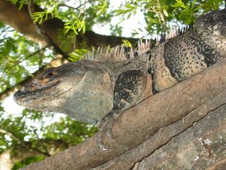 Playa del Coco condo photo - A shy iguana on a treebranch at Sombras