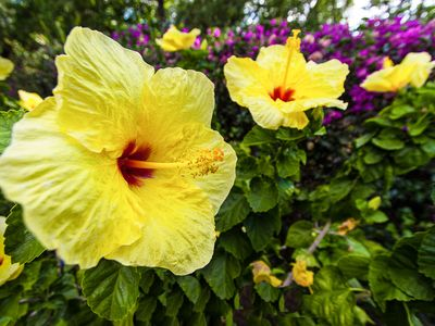 Enjoy plantings around the house. Hibiscus is Hawaii's most recognizable flower.
