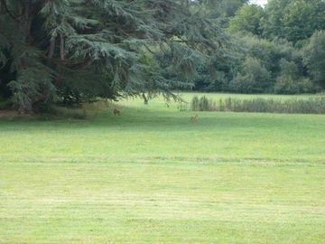 Deer Grazing in Chateau Grounds