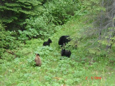 Bear and cubs visiting the area