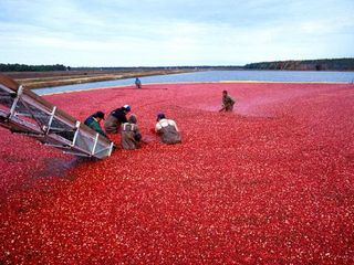 Falmouth estate photo - Fall Cranberry Harvest at the Festival in October, presented by A.D. Makepeace.