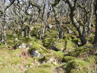 Ancient oak forest on Dartmoor
