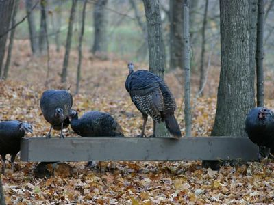 Crystal Mountain, Thompsonville cabin rental - Turkeys in the fall