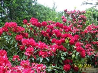 Coos Bay house photo - One of 24 Rhododendrons in yard