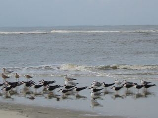 Harbor Island house photo - Black Skimmers & terns. Harbor is an Audobon Society 'Important Bird Area'