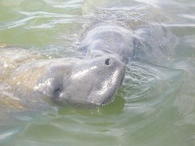 Got Some Fresh Lettuce for Our Lovers (manatees) in the Canal?