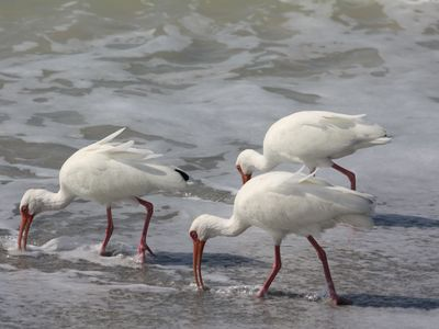 White Ibis on Bowman's Beach