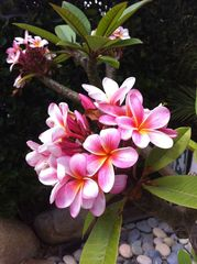 Encinitas house photo - Signature Plumeria