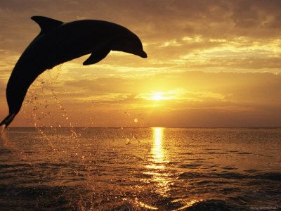 Dolphins playing at sunset in the Gulf of Mexico