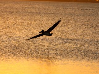 Bradenton house photo - Pelican in flight at sunset.