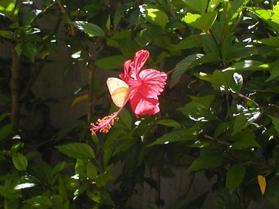 Playa Azul condo rental - Butterfly on a flower