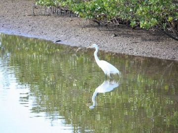 Egret fishing on walking path to Captiva beaches