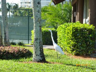 South Seas Club condo photo - Wildlife visiting the condo grounds