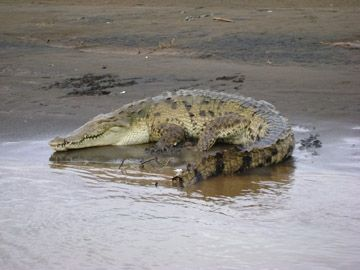 Some of the world's largest crocodiles can be seen at the nearby Tarcoles River.