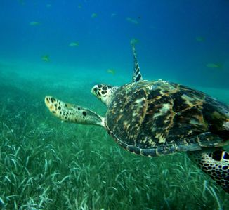 Sea turtle photo taken from nearby reef