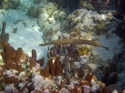 Trumpet Fish swims in Caymanease waters