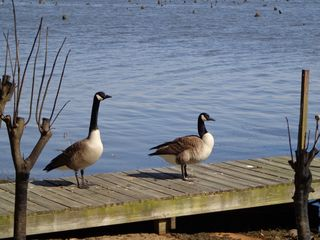 Lake Seminole house photo - Canada Geese who live next door & share the water with fish, duck & gators