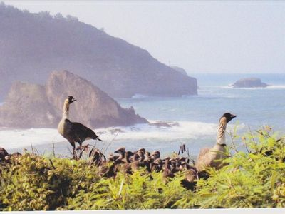 Our state bird, the Nene at Kilauea Lighthouse & Wild Refuge a 10 min drive