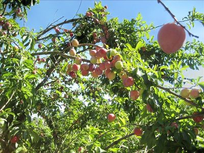 Forestville house rental - Peach tree in the fruit orchard