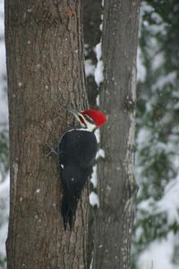 A colorful Pileated Woodpecker