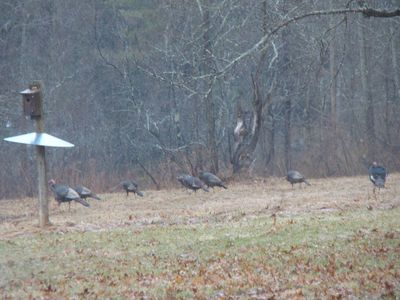 Visiting turkeys
