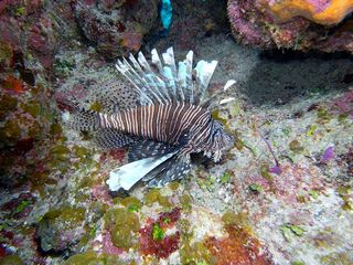 San Salvador house photo - Lion fish