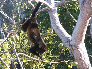 Playa Hermosa house photo - Howler monkey eating from our tree