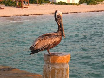 Our friend, Mr. Pelican :o))