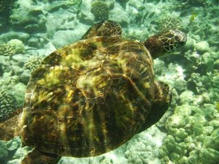 Kailua Kona condo photo - Green sea turtle in front of Banyan Tree condo