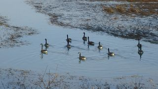 Chatham house photo - Canadian Geese Visiting Right Outside the Family Room Window