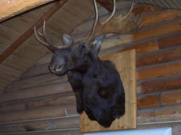 "Namesake Moose - The resident Moose of ""Moose Lodge""."