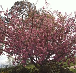 Hayesville cabin photo - Spring blossoms on a mountain cherry tree.