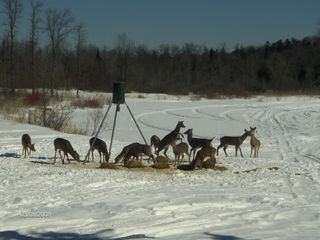 Rapid River lodge photo - Deer Feeding at the lodge feeder