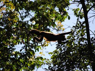 Cabo Matapalo house photo - Howler monkeys in rainforest behind the house!