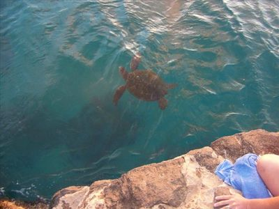 Sea Turtle feeding about 100 yards from cabana
