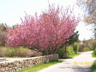 Edgartown house photo - Beautiful Pink Tree at corner of yard