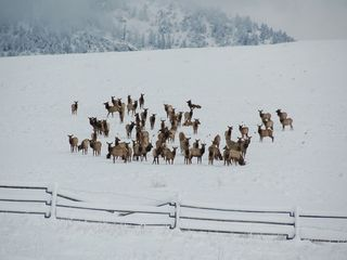 Bozeman house photo - Resident Elk herd
