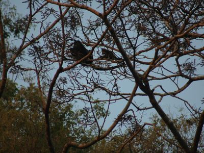 Howler monkeys right outside Blue Surf~they are your alarm clock!